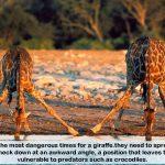 Giraffes become an endangered species –