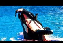 watch-blackfish-killer-whales-should-not-be-kept-in-captivity-angelinipost-com